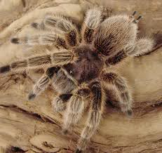 Rose-Hair Tarantula